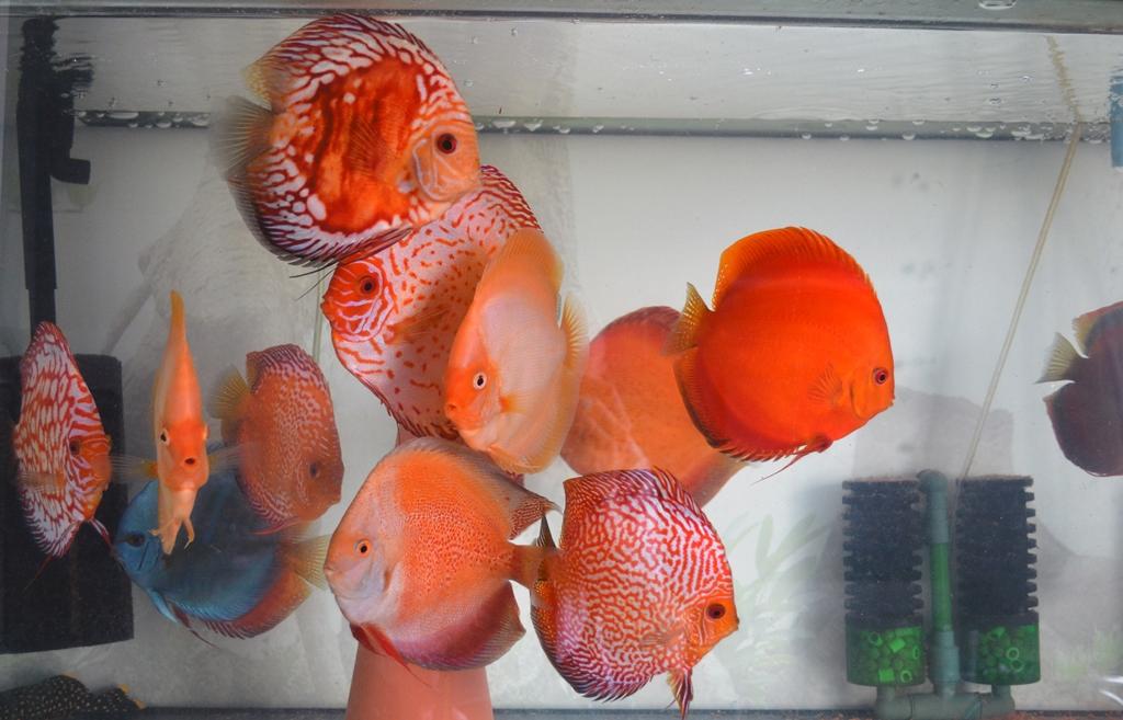 discusii regii acvariilor