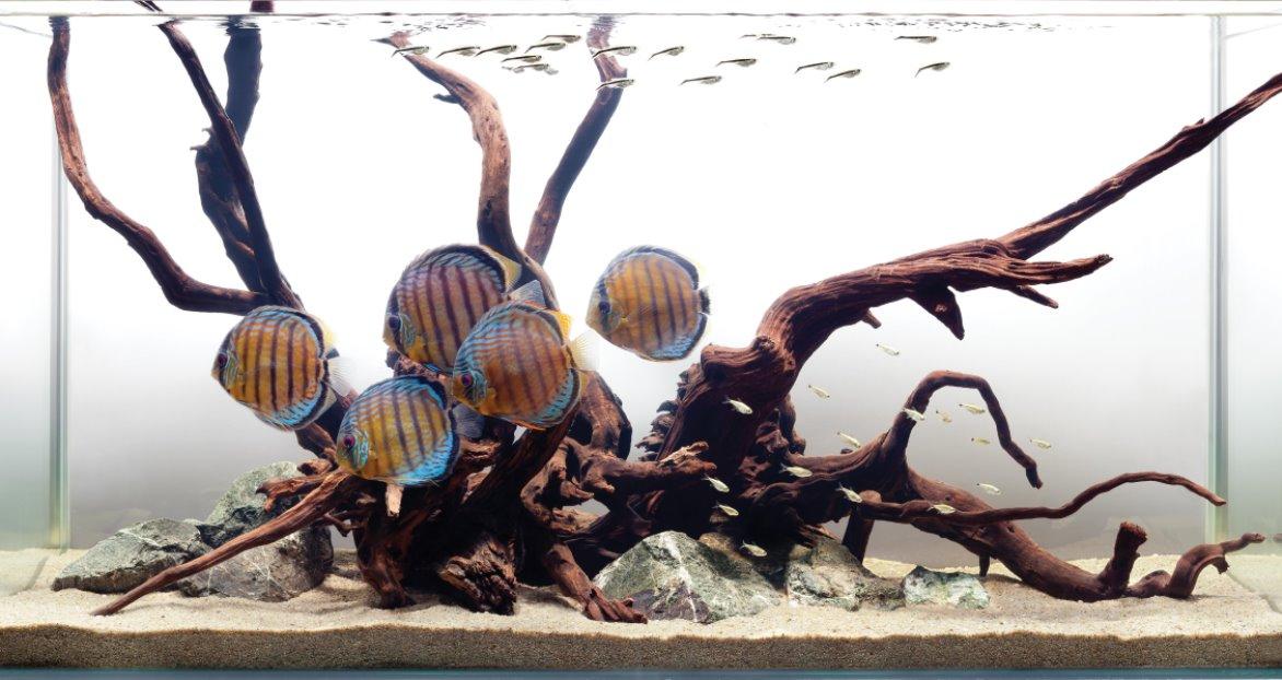 acvarii cu discusi premium