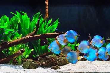 Un acvariu cu discusi este potrivit pentru tine daca: