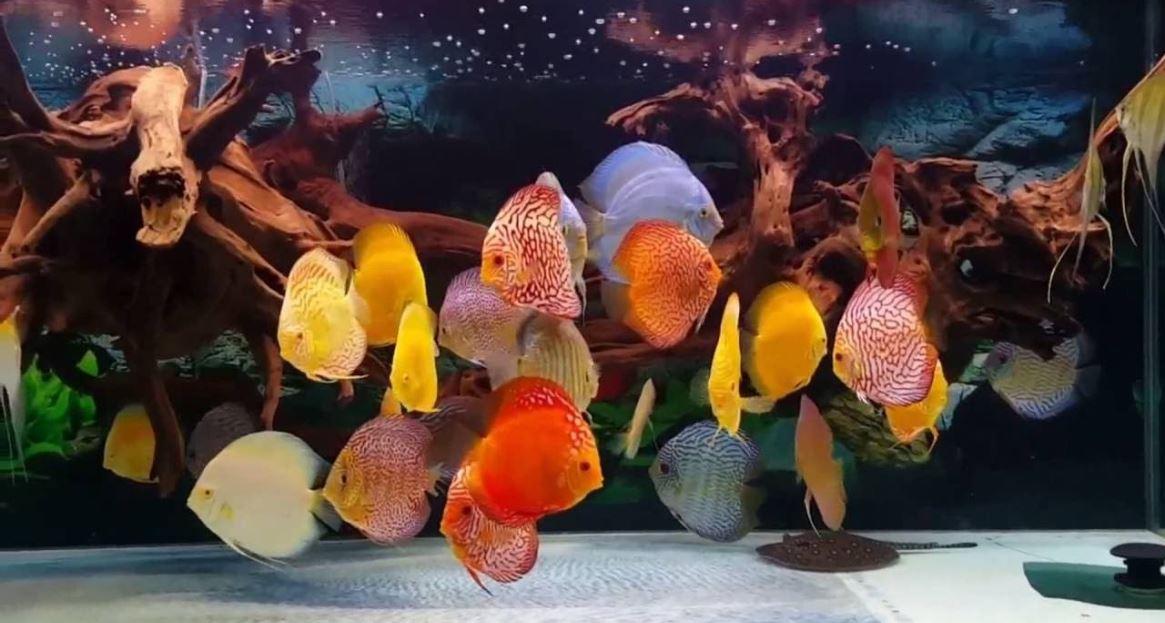 Tipuri de acvarii cu discusi pentru casa ta